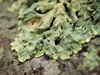 Leafy lichens!