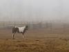 Ponies in fog