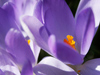 Crocuses are croaking!