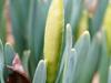 Pre-daffodils