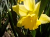 N is for Narcissus