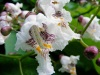 Popcorn rhododendron