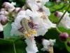Popcorn rhododendron