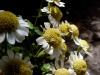 Not daisies