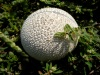 Lycoperdon, puffed for the very first time
