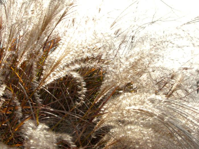 Maiden grass, apparently.
