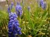 Hyacinths of grape