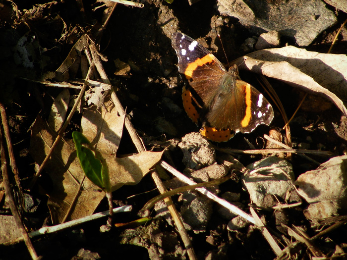 It's a butterfly! It's got orange stripes! It's... a red admiral!