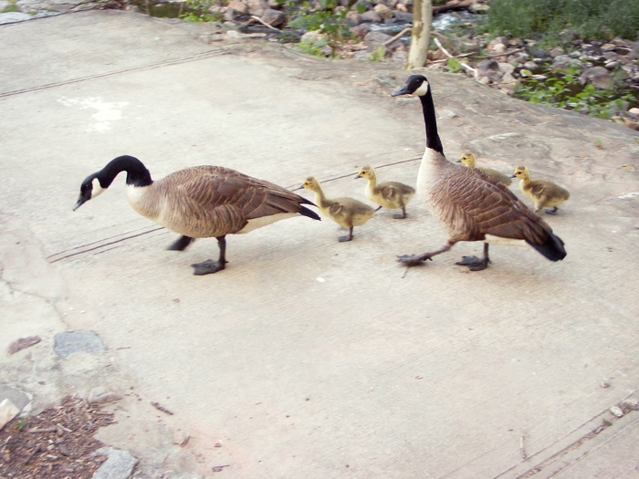 Hissing geese!