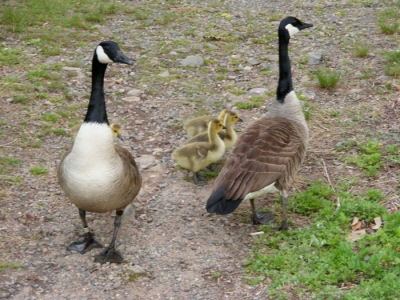 Stop blocking my path! Hey, Mama Goose is tagged.