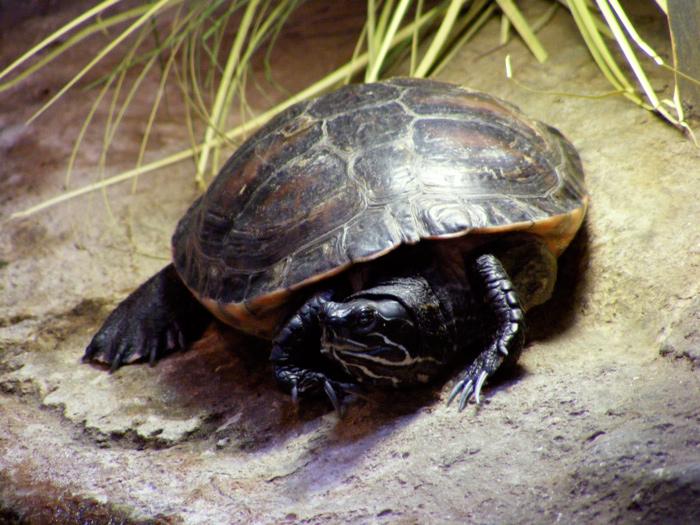 Painted turtle!