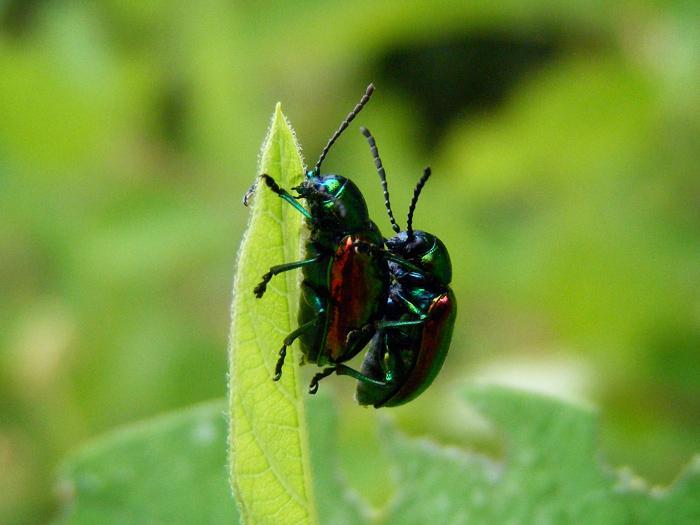 Japanese beetles, yo.