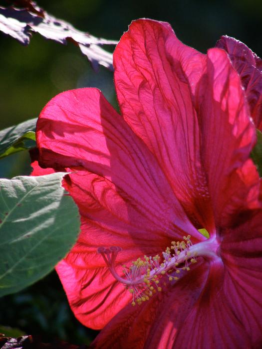 Hibiscus!