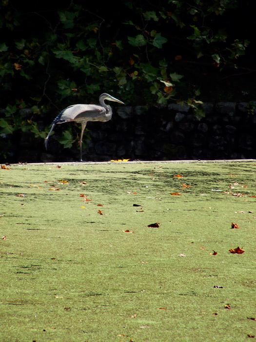 Great blue heron!