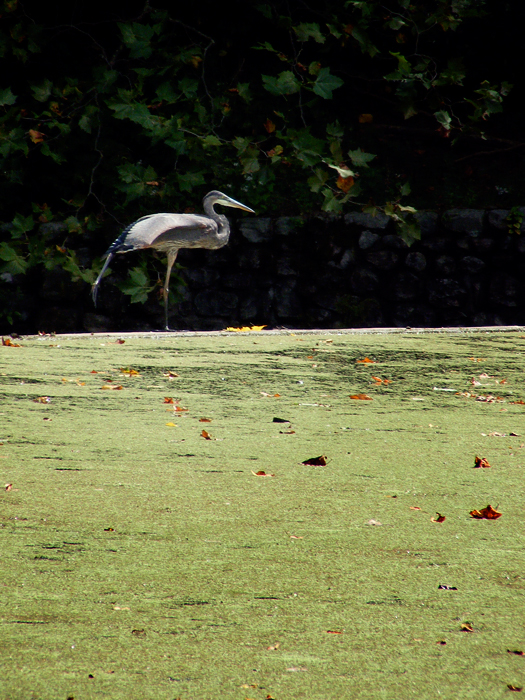 Great blue heron!