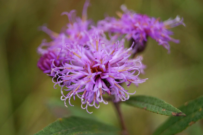 Some kinda Centaurea. Maybe a Bachelor's Button? But it's violet!