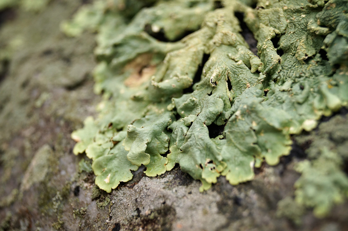 Leafy green lichens! Tasty. (I doubt they're edible.)