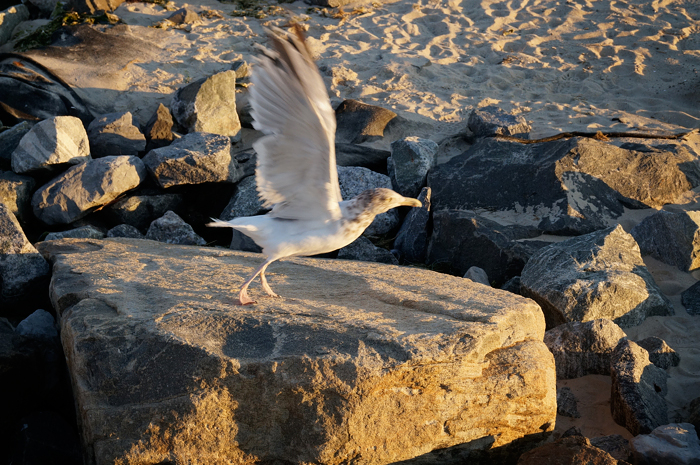 Gull in flight: there he goes!