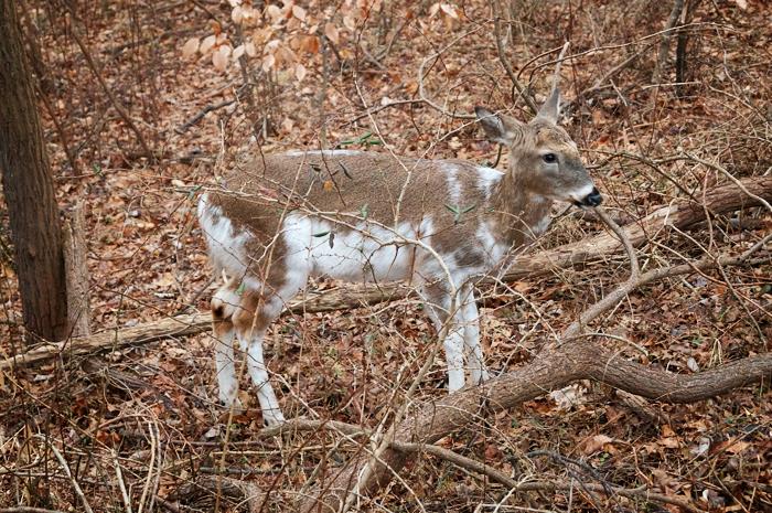 Piebald deer (buck without antlers)