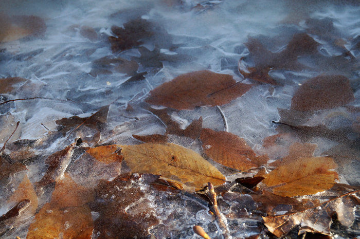 Leaves in ice!