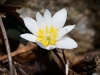 Bloodwort, bloodroot, it's all the same to me