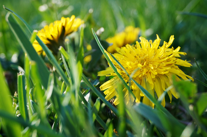 Dandelions!!