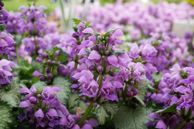 A whole bunch of purple deadnettles!