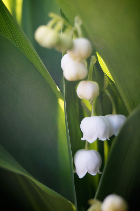 Lilies of the valley make my garden walk! ...Wait, no, is it DECK my garden walk?